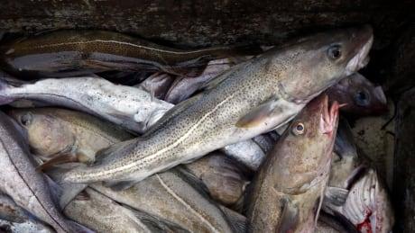 Atlantic Cod Decline
