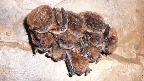 little brown myotis_South Slave Hibernaculum