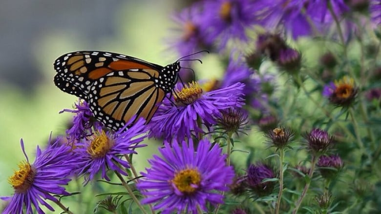 Ontario's monarch butterfly comeback has roots in Texas