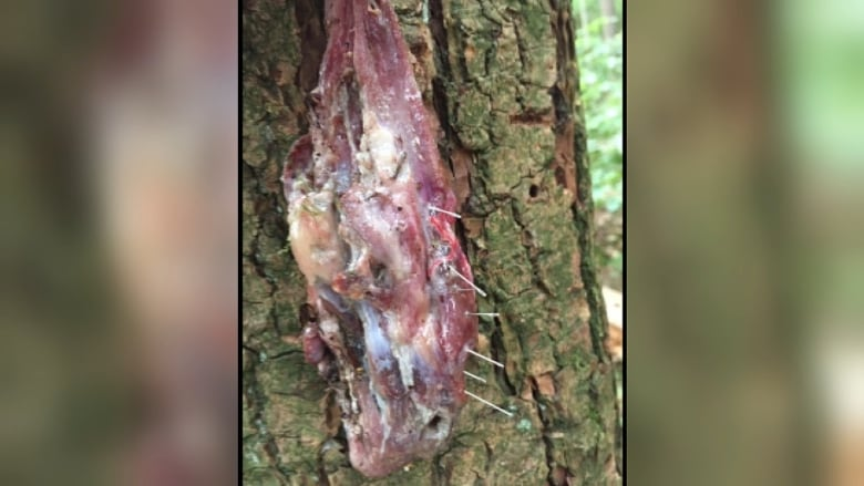 Man walking his dogs on Burnaby Mountain finds meat stuffed