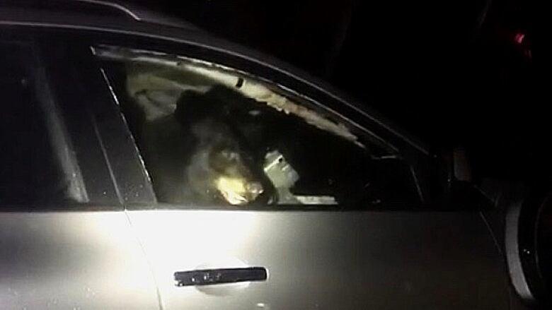 Black bear locks itself inside SUV in Port Moody prompting police response