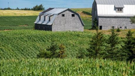 P.E.I. corn farm