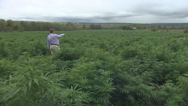 , P.E.I. hemp growers lobby for seed with higher CBD, similar to U.S., Styding CBD, Styding CBD