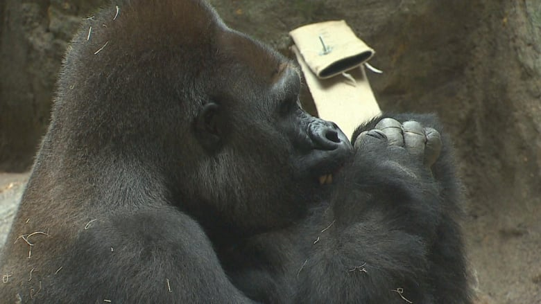 New male gorilla makes 1st appearance at Calgary Zoo