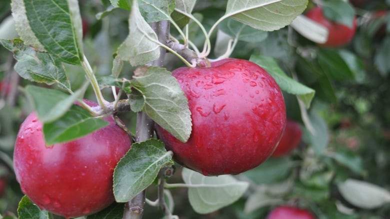 For apple lovers, the time is ripe for picking and baking