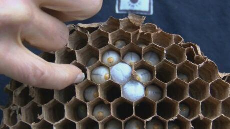Asian giant hornet nest