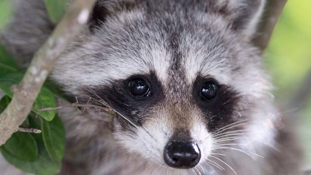 Parents, pharmacists race for potentially life-saving meds after Alberta infant eats raccoon feces | CBC News