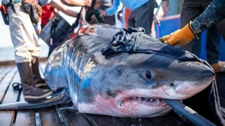 Unama'ki ocearch great white shark hay island nova scotia