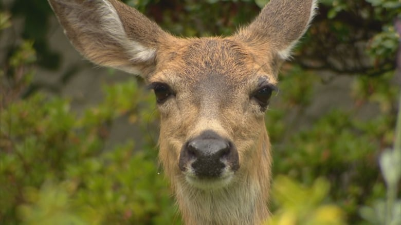 Urban deer get birth control to curb overpopulation