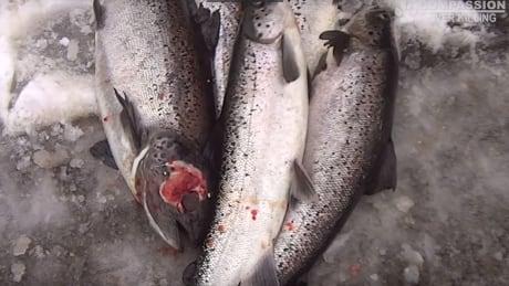 Compassion Over Killing cooke aquaculture fish