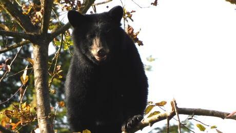 BLACK BEAR ROSS DAVIES