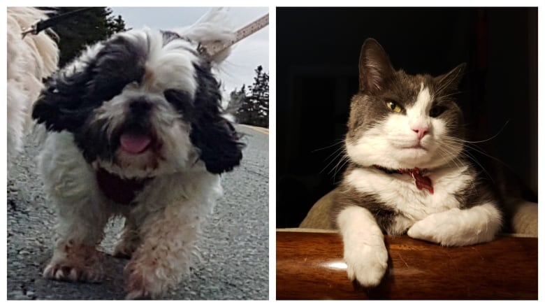 Shih Tzu 'afraid of everything' saves cat from 2 raccoons