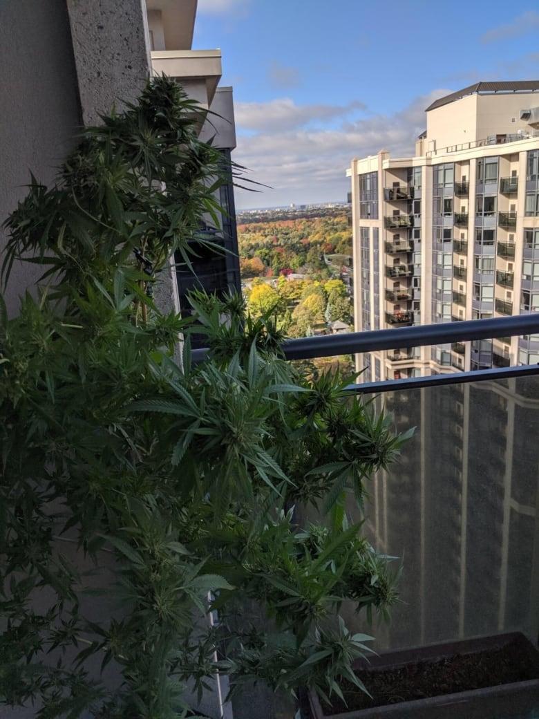 Ontario gardeners bring in their 1st harvest of legal backyard cannabis