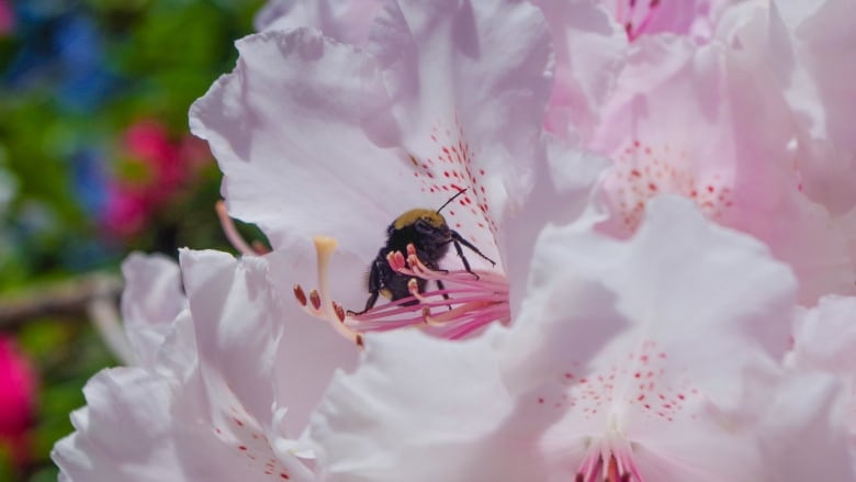 Vancouver Island University is swarming with bees — and that's a good thing