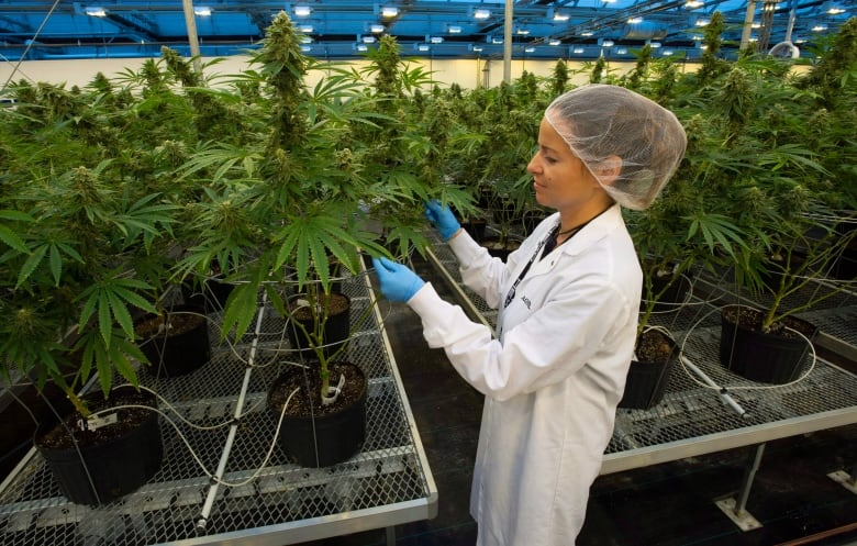 cannabis production 20181011 - Major Canadian pot companies facing proposed class-action lawsuits in the U.S.