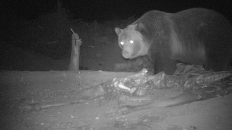 Grizzlies use B.C. roadkill dumps as feeding grounds, says researcher