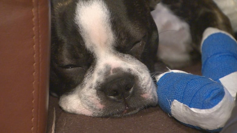 Evie the dog recovering from Halloween scare as Vancouver looks to ban fireworks
