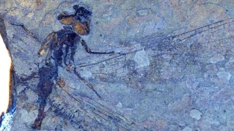 First dragonfly fossils from B.C. receive scientific names