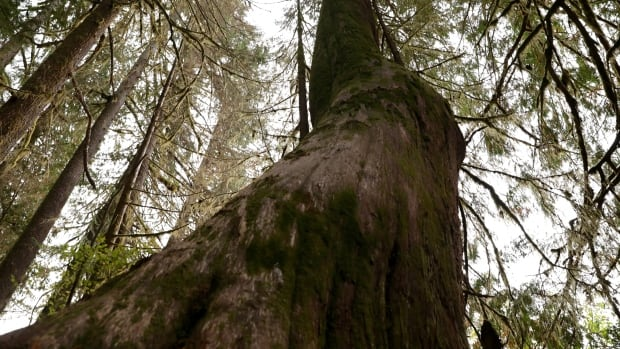 If you care about old growth trees in B.C. now's your chance to speak up - CBC.ca