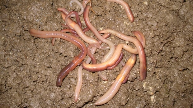 The power of earthworm poop and how it could influence climate change - CBC.ca
