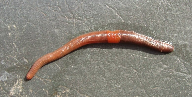 The power of earthworm poop and how it could influence climate change