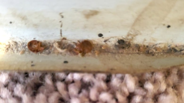 Condo Bed Bug Infestation A Losing Game Says Pest Control Company Cbc News