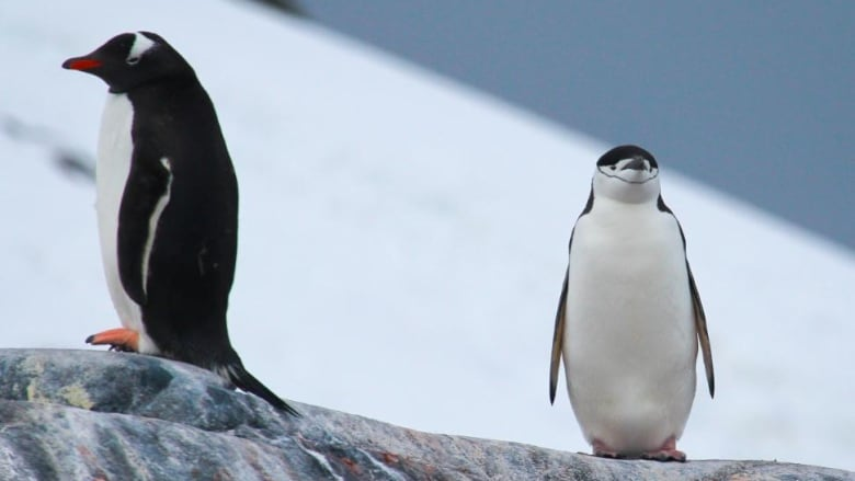 Penguin diets key to understanding how climate change could affect humans: study