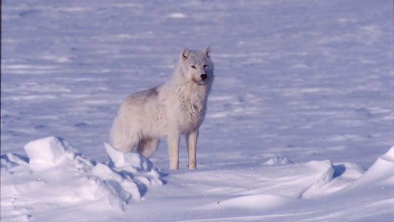 Wolf incentive harvest program targets more wolves in caribou winter range
