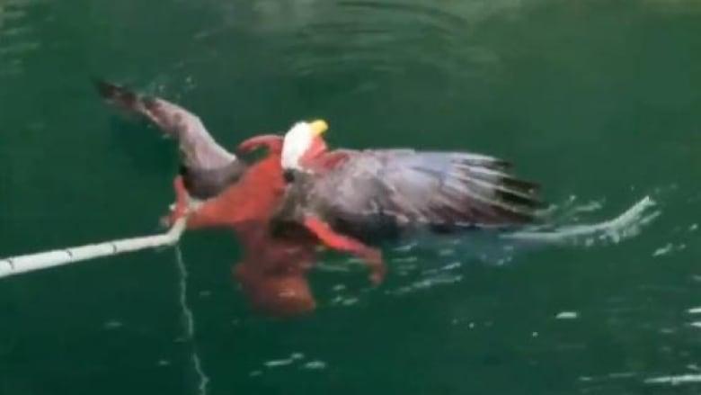 Tentacles vs. talons: Octopus battles bald eagle in video shot off B.C. coast
