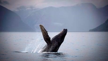 humpback whale b.c.
