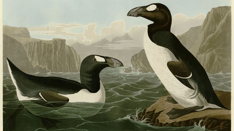 Penguin-like Great Auk extinction has human signature all over it