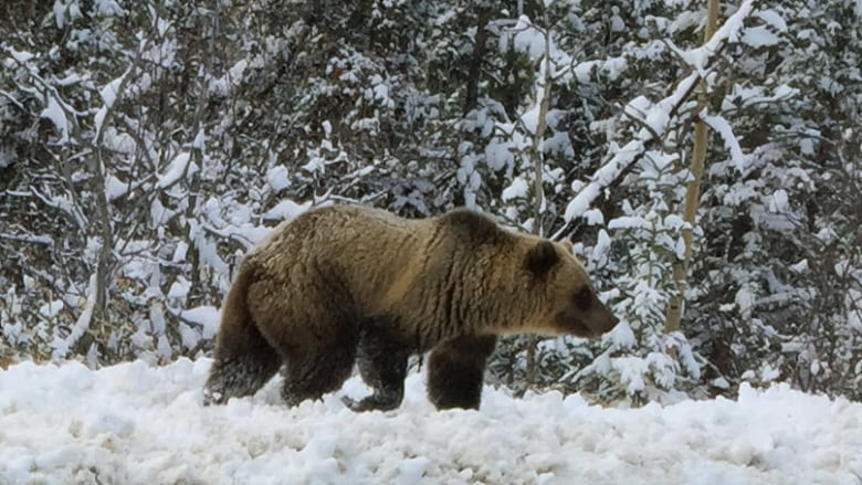 Jetliner Hits Brown Bear While Landing In Southeast Alaska Cbc News