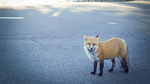 Yes, you did see a fox in the city. Don't worry, it's normal, say Kitchener staff   CBC News