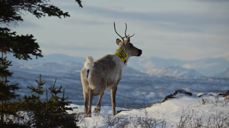 Tagged woodlands (boreal) caribou from Ibex herd