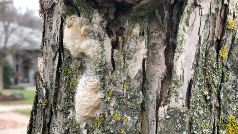 London tries to get ahead of gypsy moth infestation