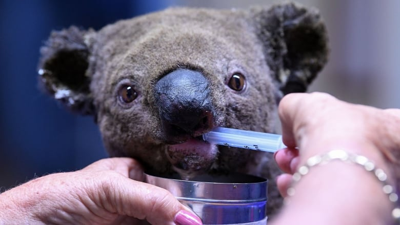 Petition calling for koalas to be introduced to New Zealand met with skepticism from ecologists