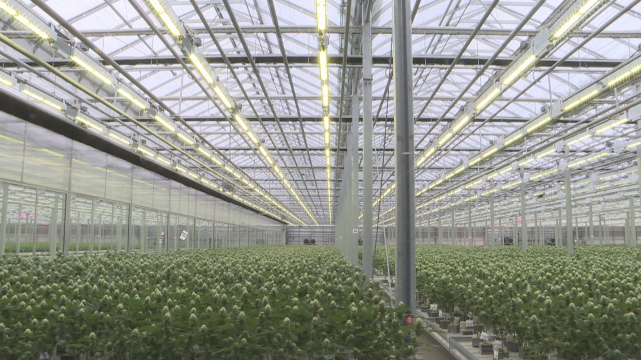 Cannabis Company Working On Fix To Skunk Odour Coming From Greenhouses Cbc News