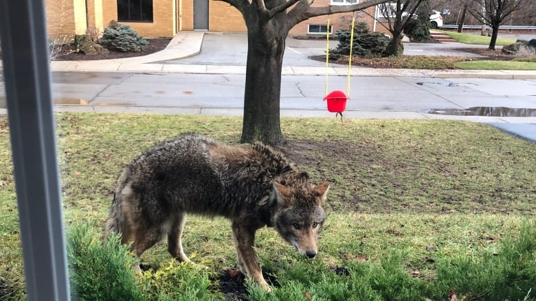 Westdale resident snaps picture of curious coyote visitor