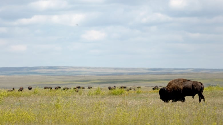Bison return to Wanuskewin Heritage Park