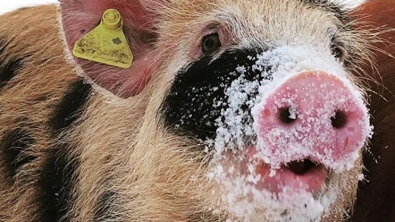 'Athletic' pigs won't let fence stand between them and a good time