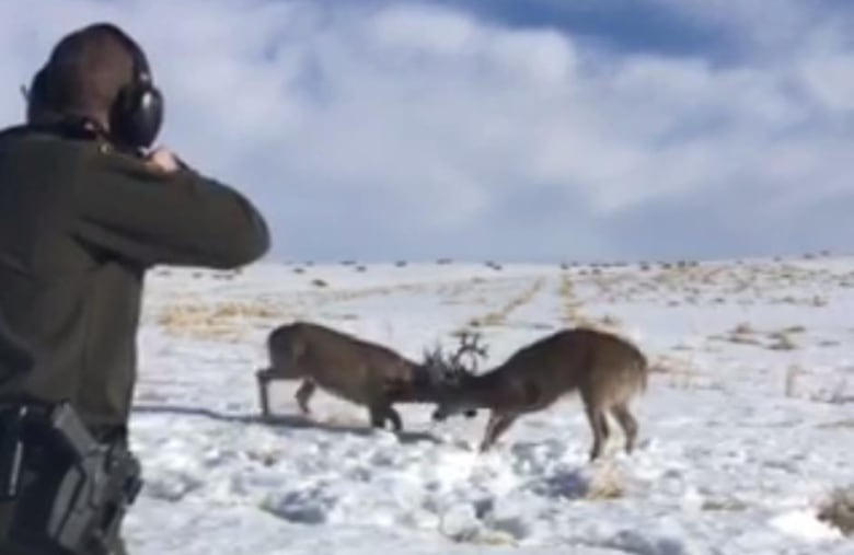Sharp-shooting officer saves deer who locked antlers near Calgary