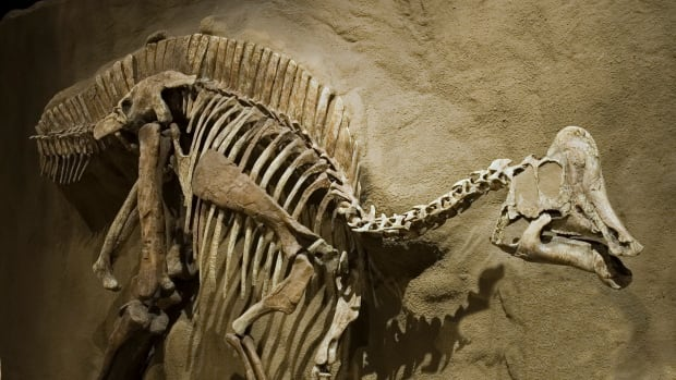 Dinosaur found with signs of tumour-causing disease that afflicts humans today | CBC News