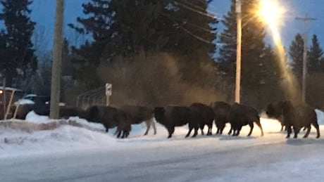Bison on the loose in Village of Hythe