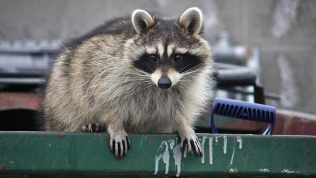 Toronto sees uptick in raccoon bites during the pandemic