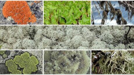 Boreal Oakmoss Lichen
