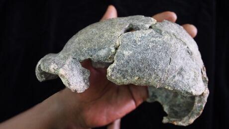 H. erectus cranium