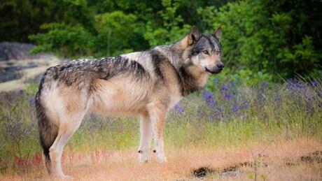Takaya, wolf in a meadow