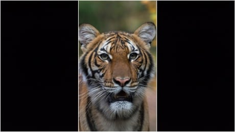 Tiger in New York City zoo tests positive for coronavirus
