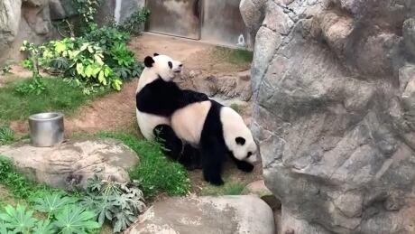 HEALTH-CORONAVIRUS/HONGKONG-PANDAS