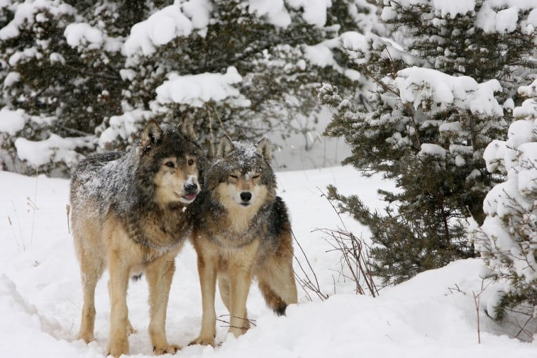 Researchers looked at 72 radio-collared wolves in Banff National Park from 1987 to August 2019. (Dennis W Donohue/Shutterstock)